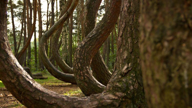 Crooked Forest, Nowe Czarnowo